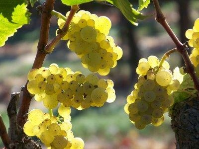 chardonnay vino