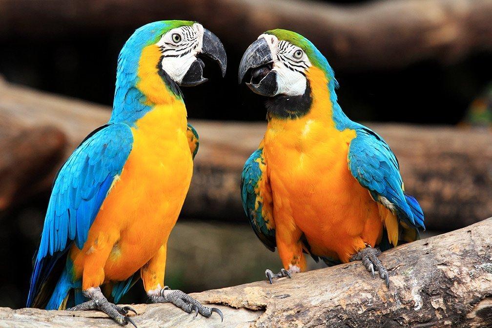 Blue yellow parrots
